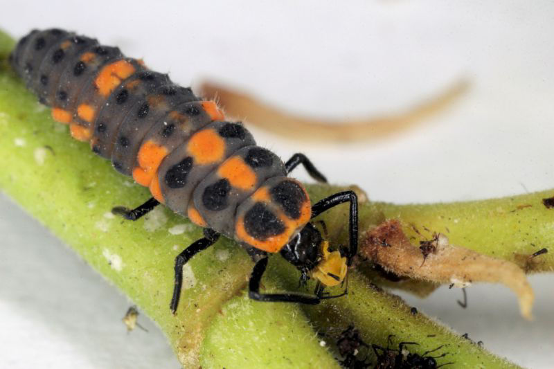 larva mariquita