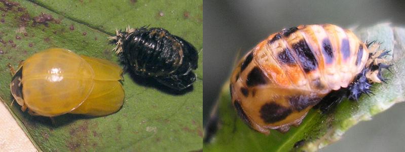 mariquita larva a adulta