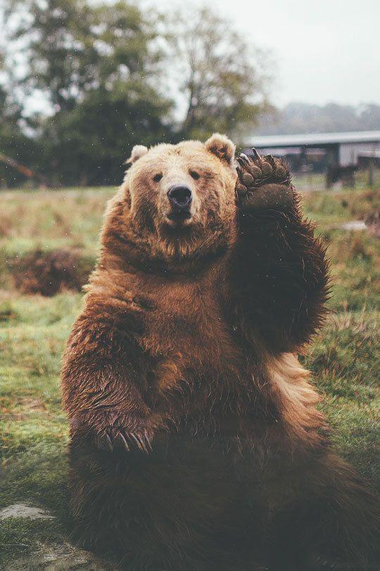 oso hola saludo