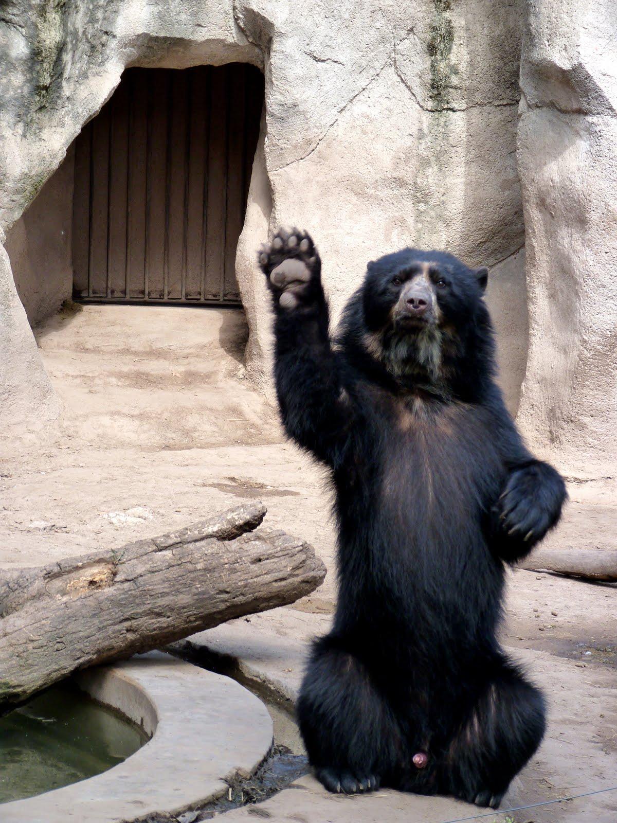 oso saludando bear