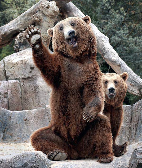 oso saludando saludo
