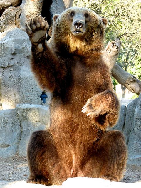 oso saludando