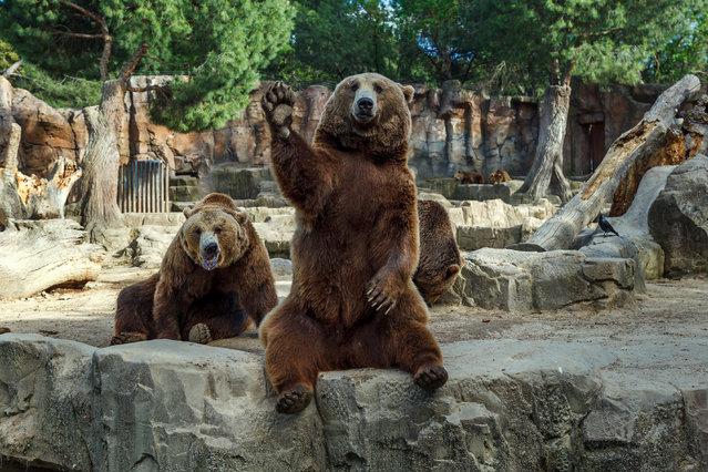 oso saludo