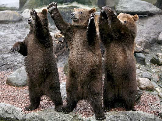 osos saludando