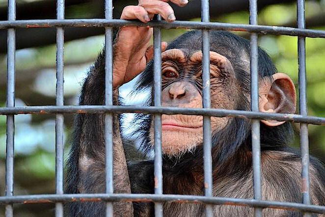 chimpance cautividad
