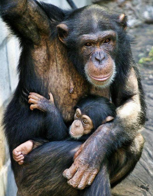 chimpance madre cria