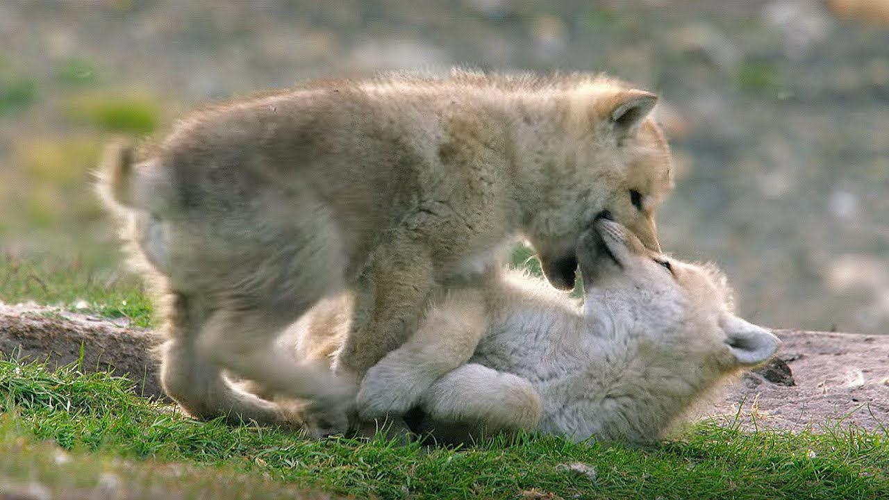 crias lobo jugando