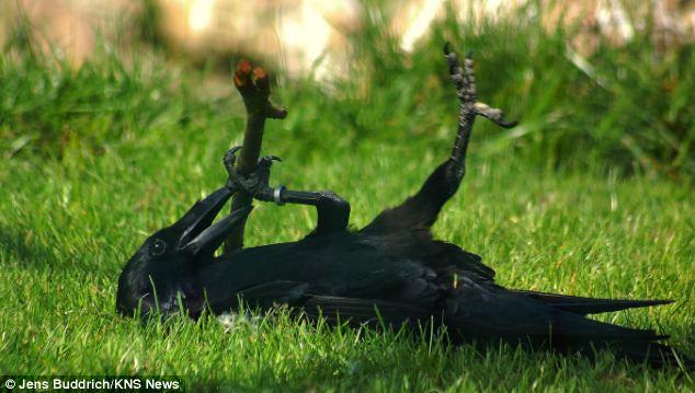 cuervo jugando palo