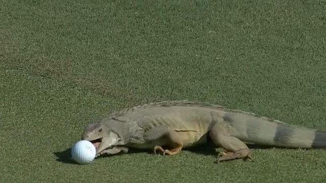 iguana pelota
