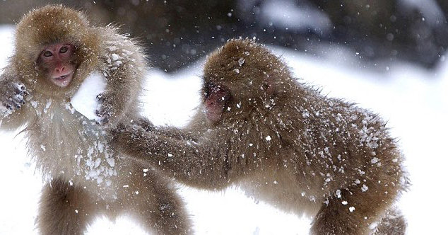 macaco nieve