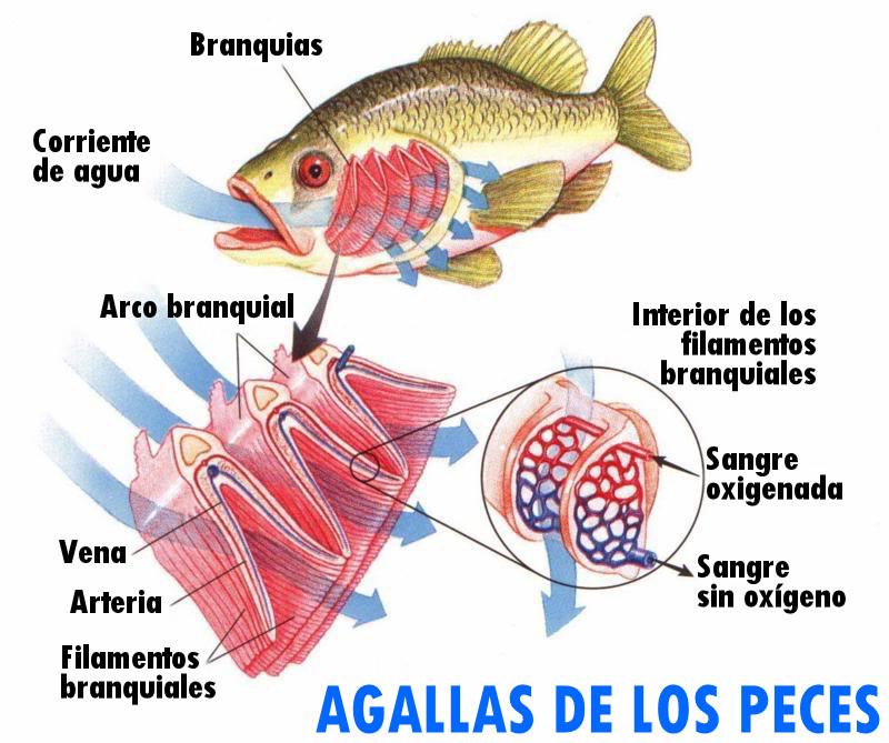 agallas branquias peces oxigeno circulacion