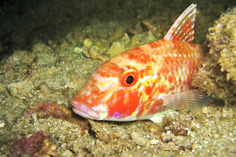 pez mar