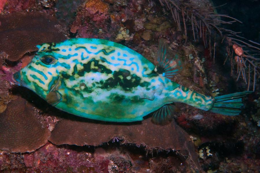 pez sueño