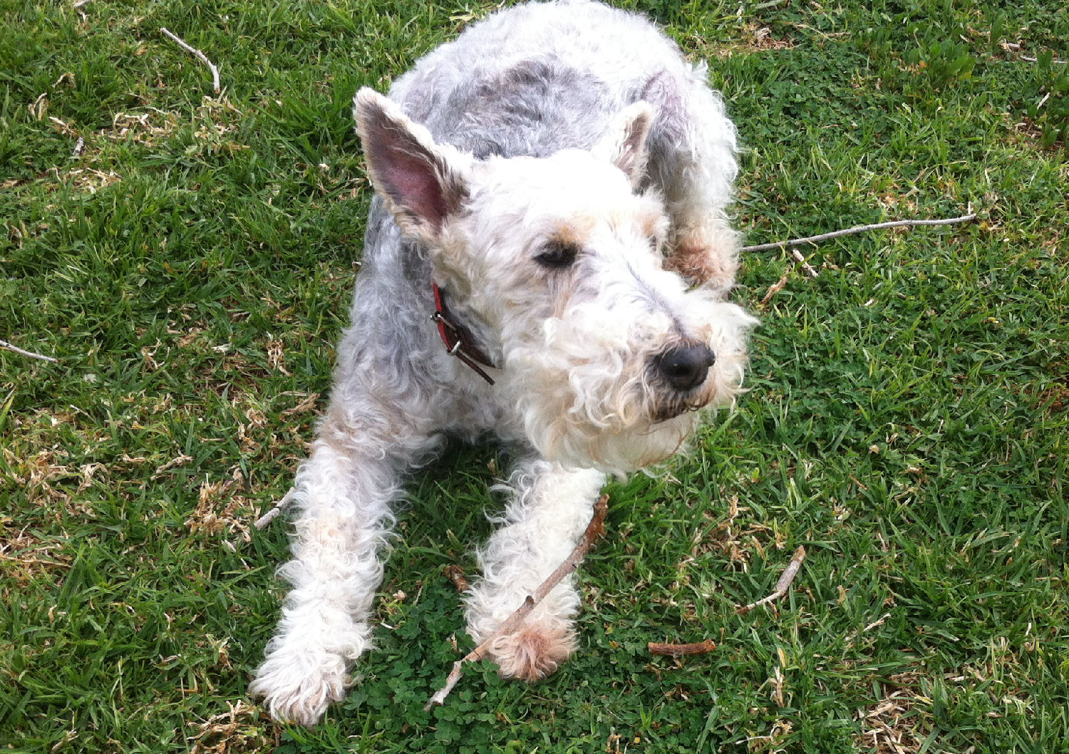 will fox terrier 13 marzo 2015 29