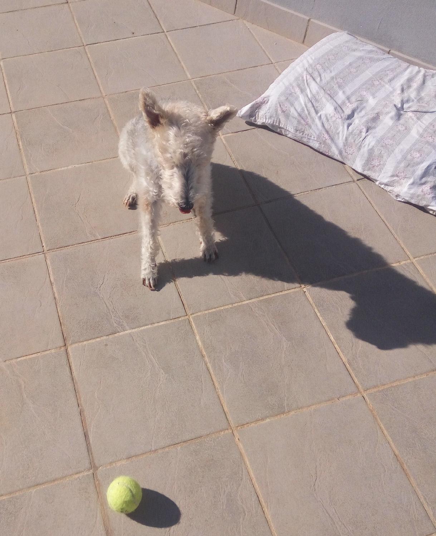 will fox terrier 16 nov 004