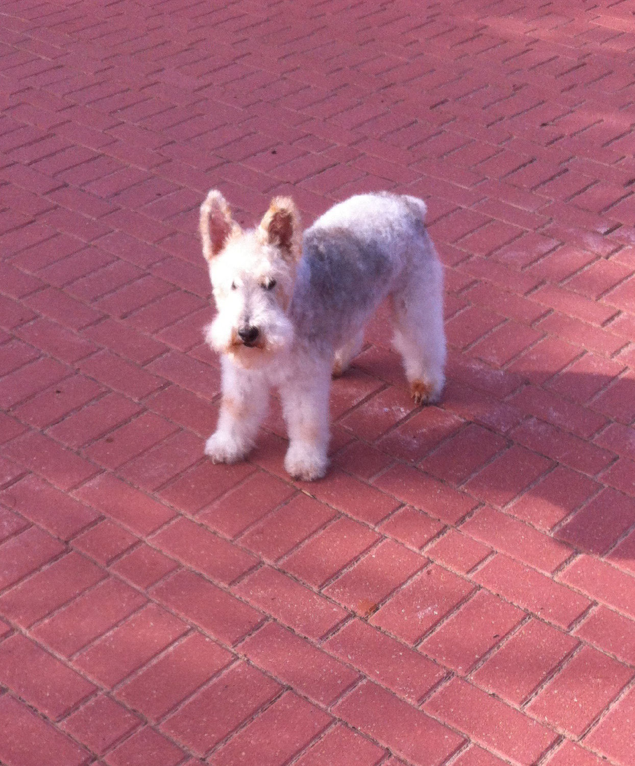 will fox terrier 16 oct 01