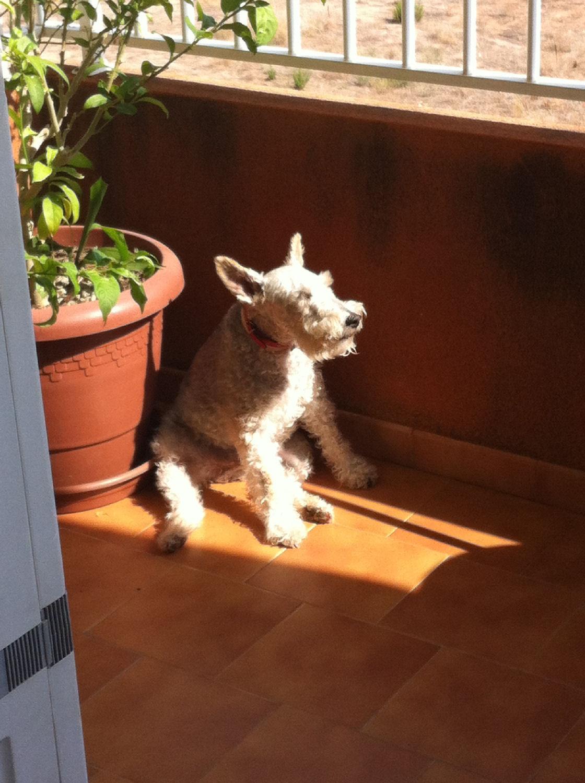 will fox terrier 22 junio will