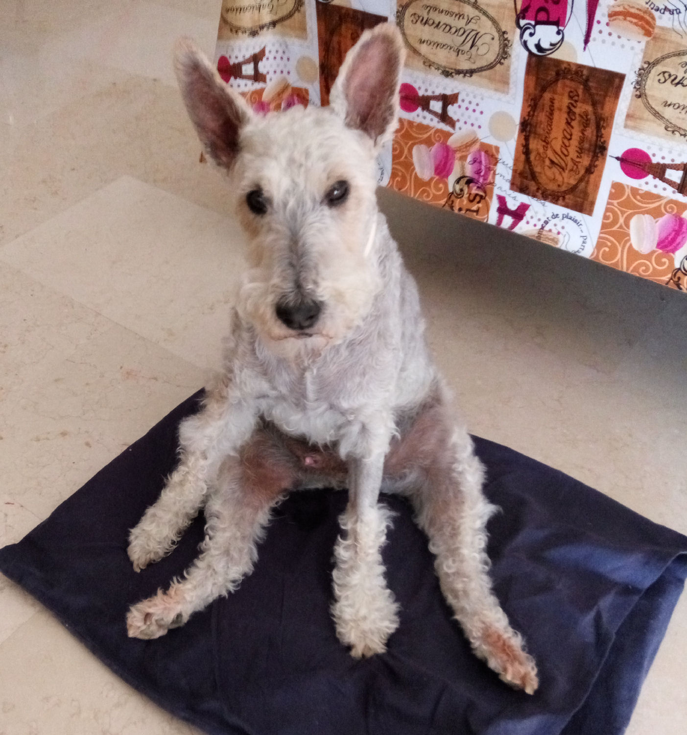 will fox terrier 28 junio 04