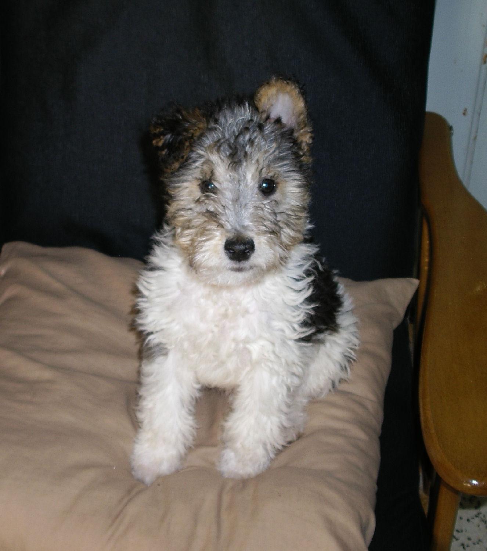 will fox terrier 8 agosto