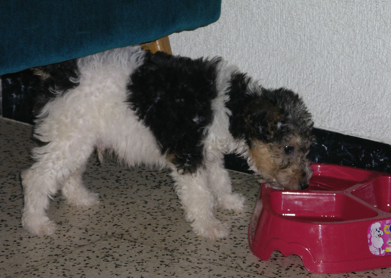 will fox terrier IMGP0495