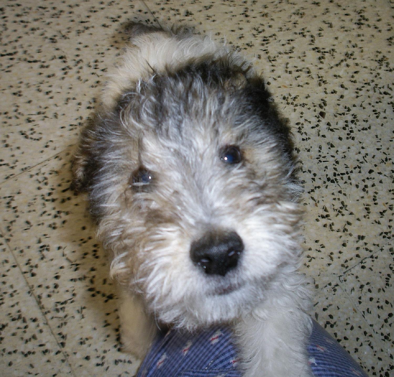 will fox terrier IMGP0525