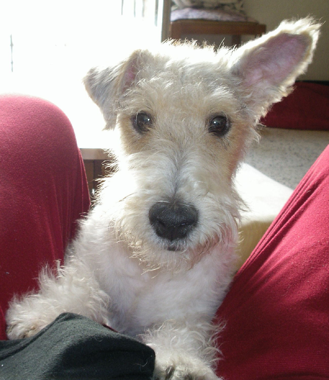 will fox terrier IMGP0661