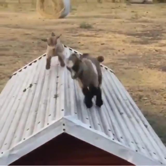 cabritillos jugando