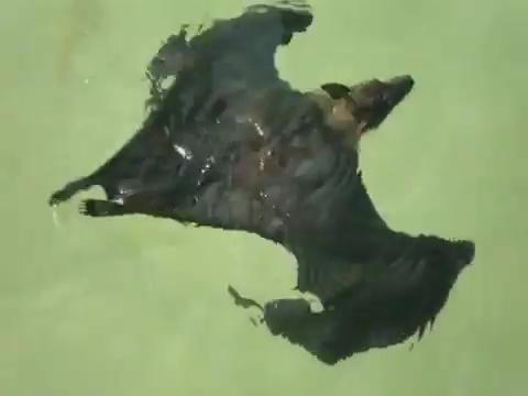 murcielago agua