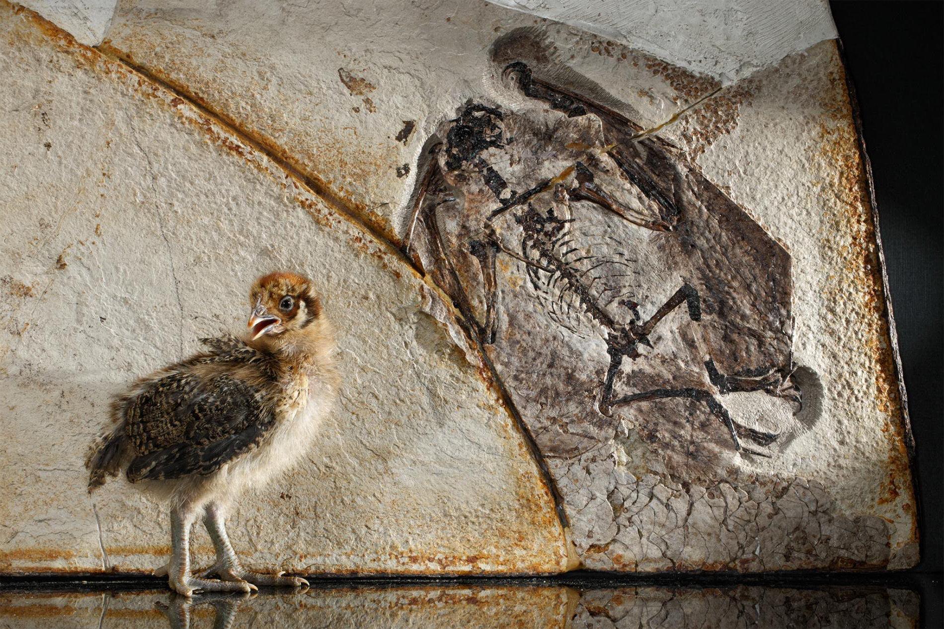dinosaurios machos plumas complejas