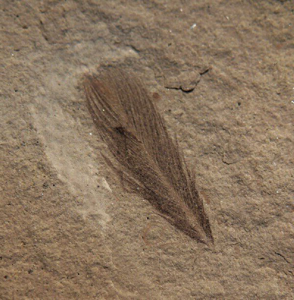 pluma fosil