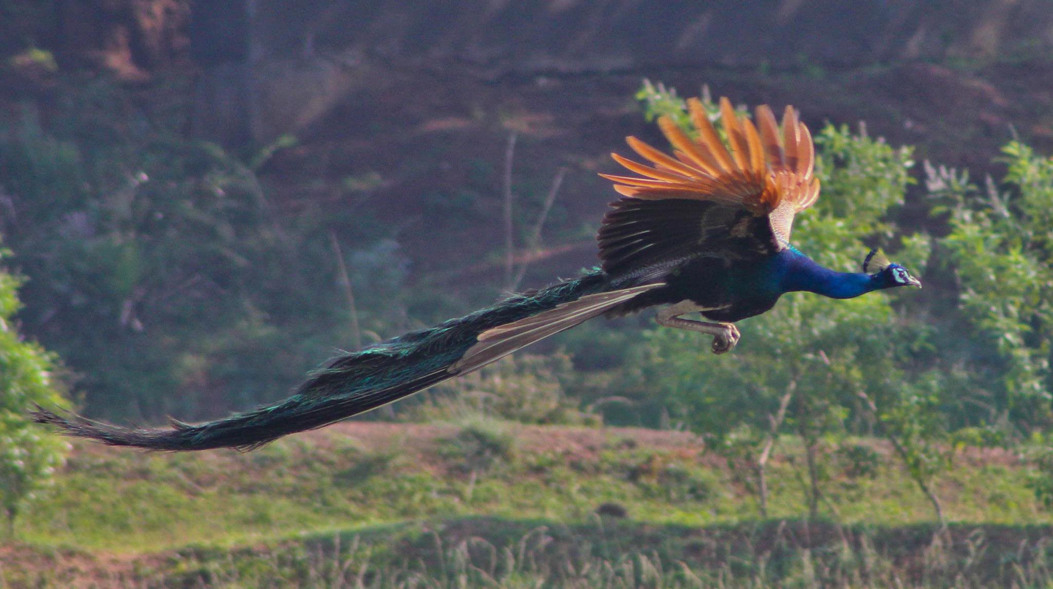 plumaje aves paraiso