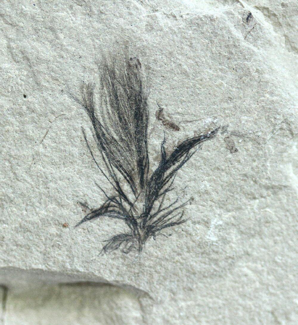 plumaje fosiles