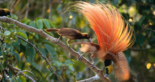 plumas seleccion sexual