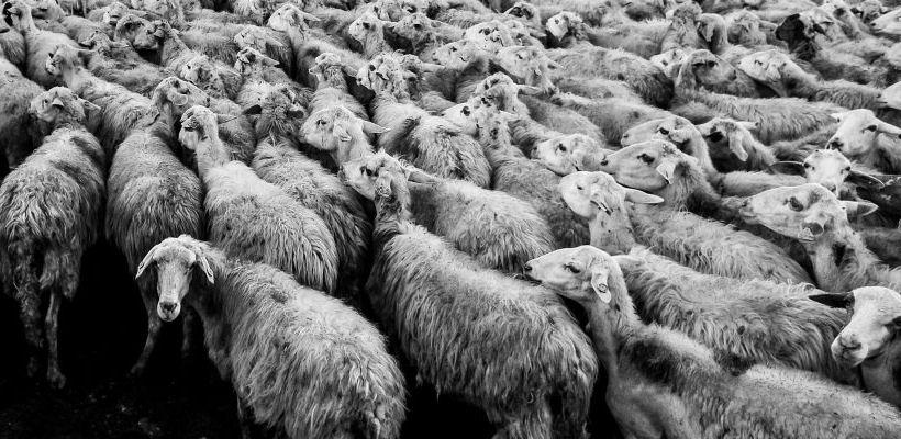 la multitud solitaria rebano ovejas
