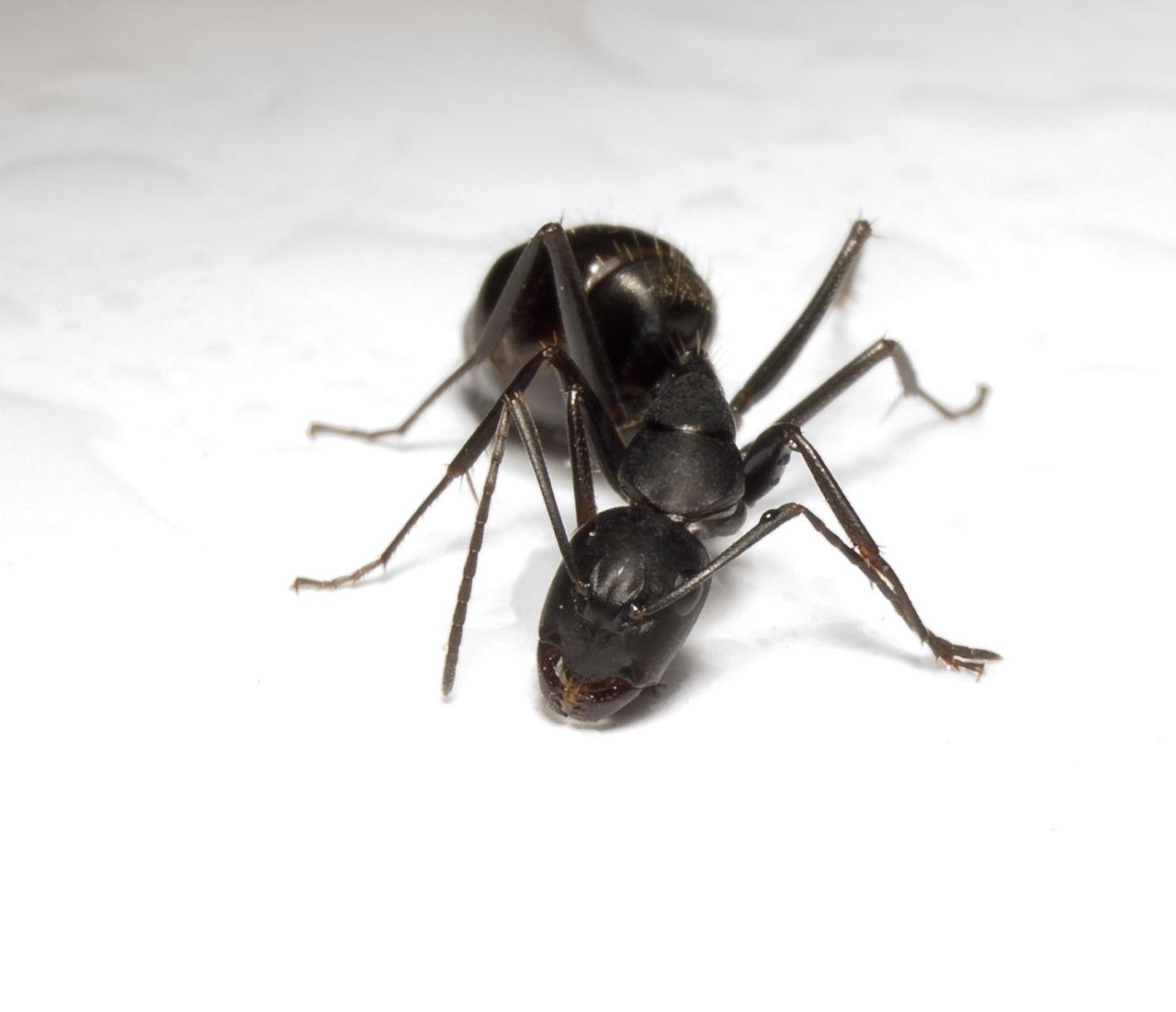 hormiga camponotus japonicus