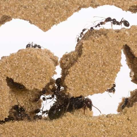 hormigas hormiguero