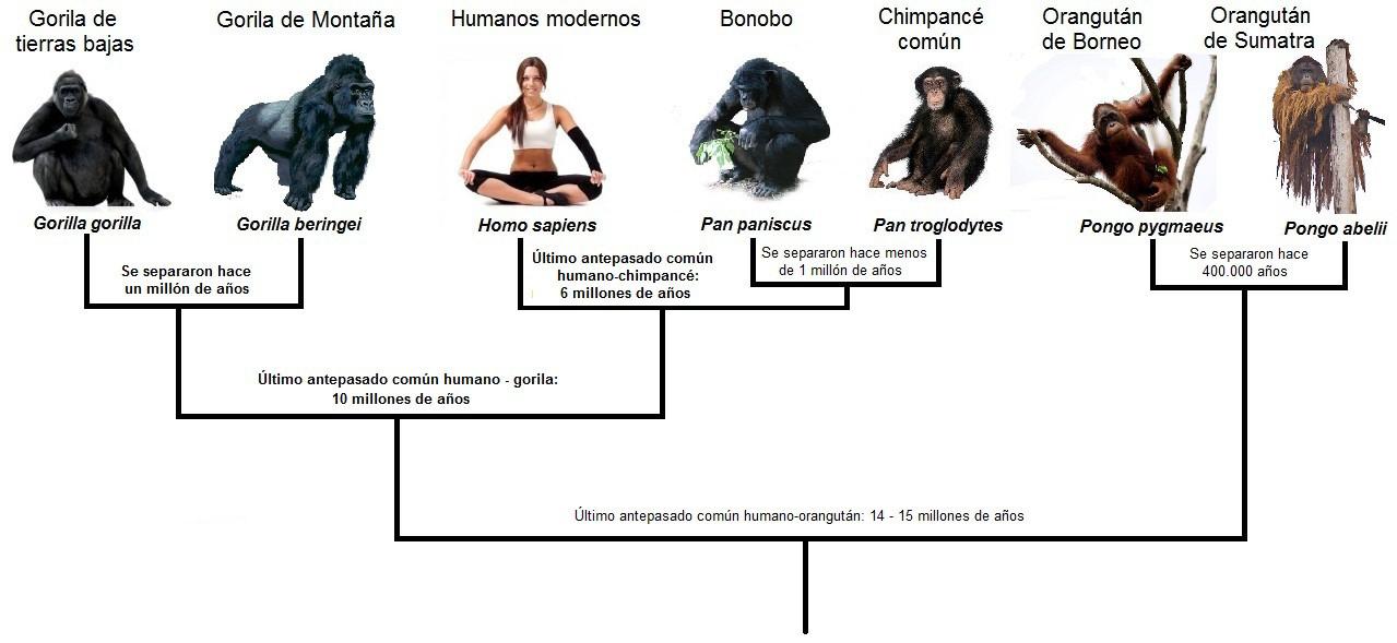 humanos simios arbol genealogico