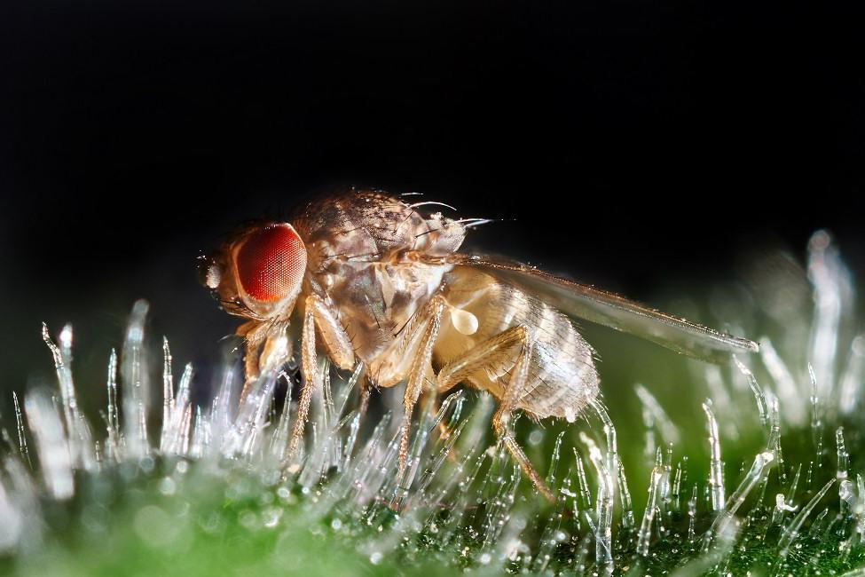 mosca fruta dormir