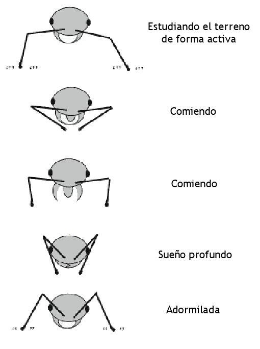 posiciones hormigas durmiendo
