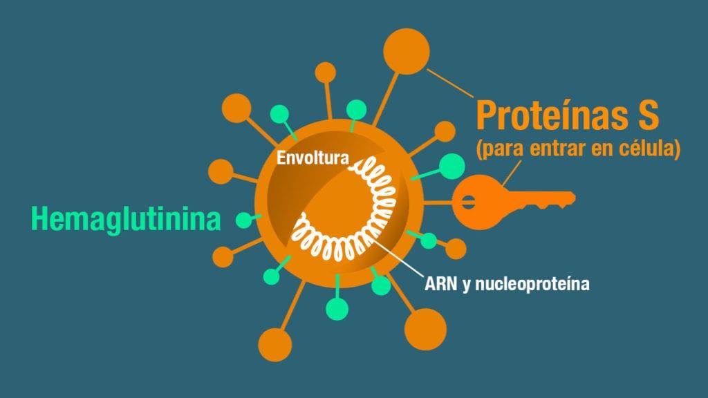 coronavirus proteina s